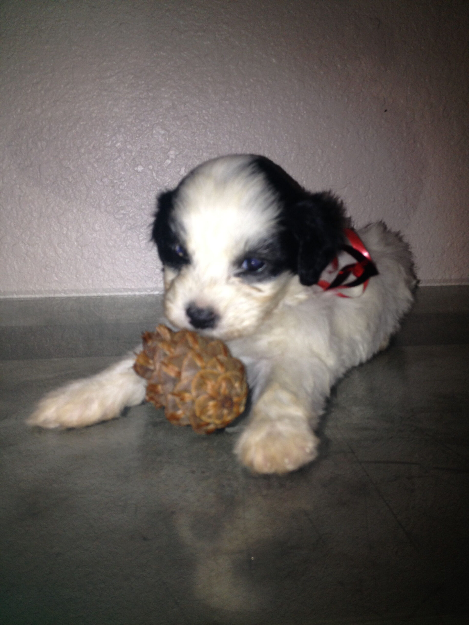 Cute Puppies For Sale Under 100 Dollars Near Me