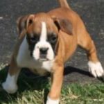 Free Boxer Puppies In Maine  Top Dog Information